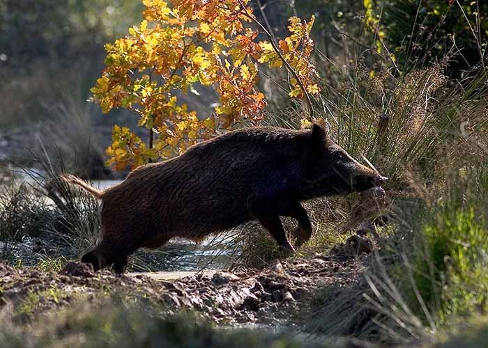 wildschwein2