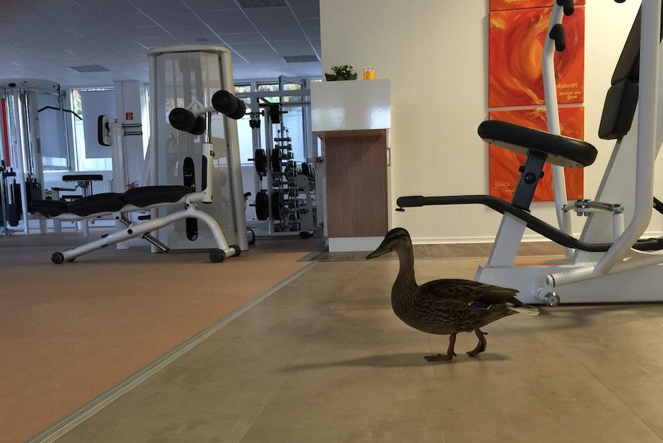Ente im Fitnessstudio 2