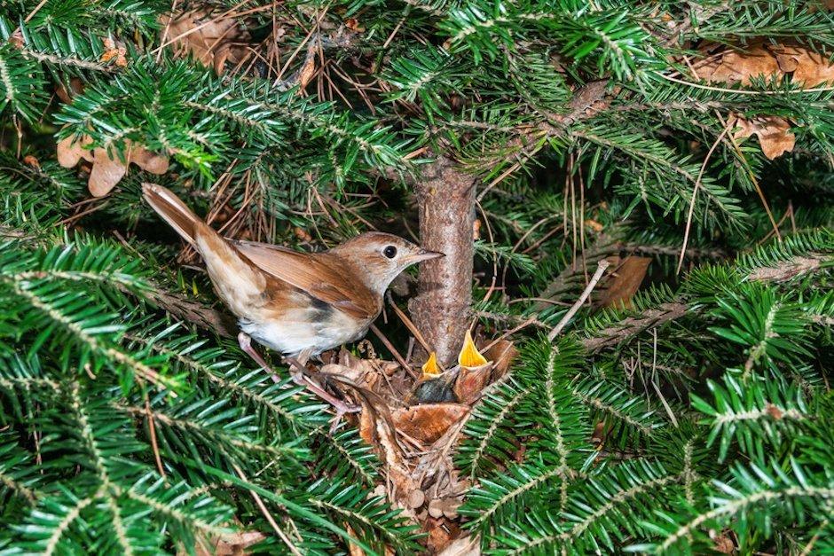 Nachtigall am Nest