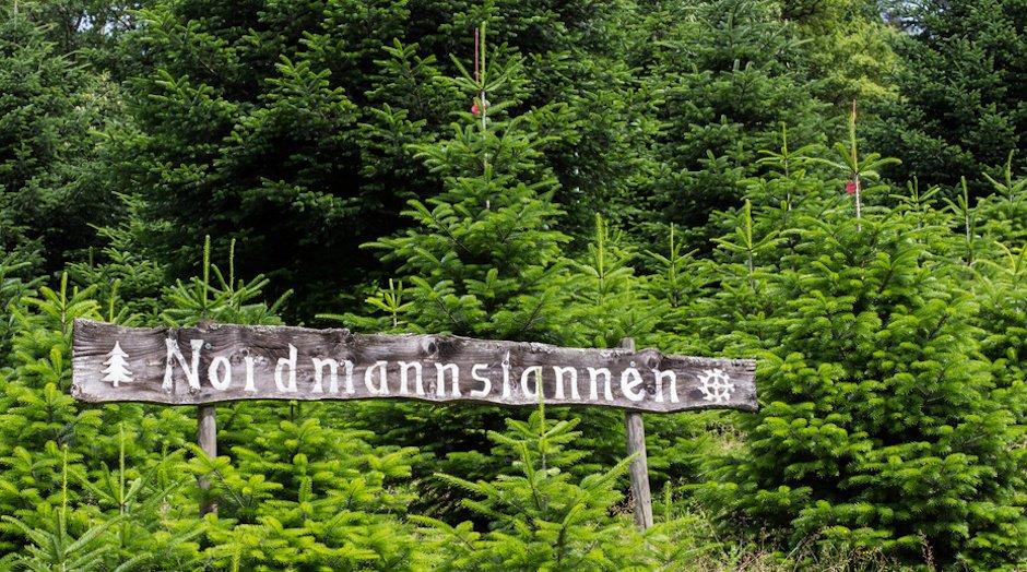 Nordmanntannen-Kultur