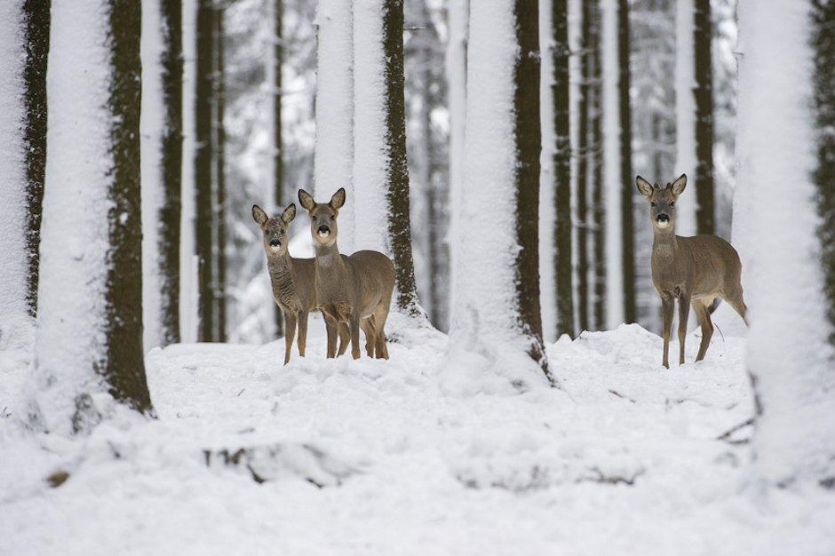 Rehwild im Winterwald