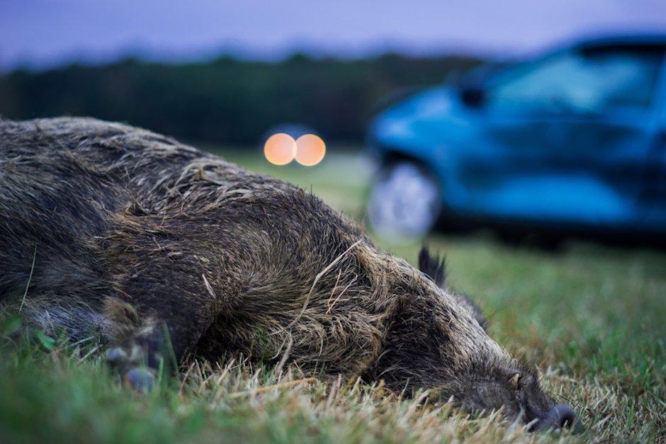Wildunfall mit Wildschwein
