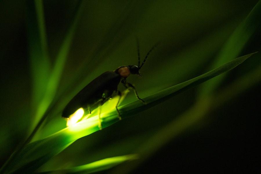 ホタル の 光 蛍 の 光 生物発光